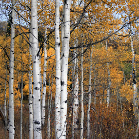 Aspens by Alex Heimberger - Landscapes Forests