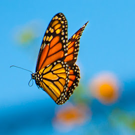 The takeoff by Kevin Mummau - Animals Insects & Spiders ( flight, butterfly, butterflies, monarch, colorful, wings )
