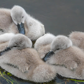 Cygnets by Andrew Moore - Animals Amphibians (  )
