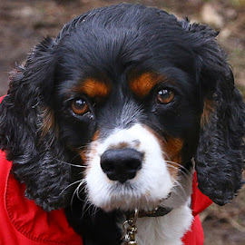 Jack's New Red Coat by Chrissie Barrow - Animals - Dogs Portraits ( white, portrait, eyes, red, pet, whiskers, ears, fur, cavalier king charles spaniel, dog, nose, coat, black, tan )