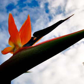 Flower of Paradise  by Alexsandra Wiciel - Nature Up Close Flowers - 2011-2013 ( clouds, macro, sky, nature, bird of paradise, flower, new zealand, pwcpaths )