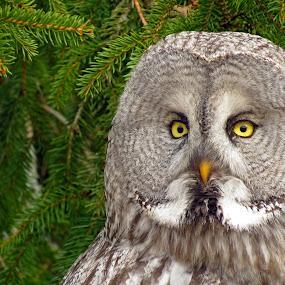 The Great Gray/Grey Owl Portrait by Sami Rahkonen - Animals Birds ( wild animal, sweden, wild, animals, wood, great gray owl, wildlife, forest, birds, owls, great grey owl, close, eyes, bird, wilderness, tree, nature, owl, trees, summer, great grey, animal )