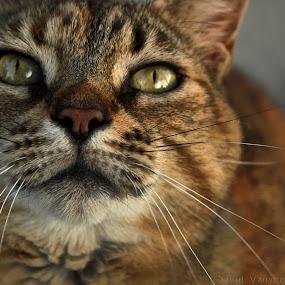 Wonder  by David Vanveen - Animals - Cats Portraits ( cats, kitten, portraits, cute )