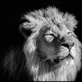 African Lion by Dave Lipchen - Black & White Animals ( african lion )