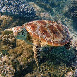 Curious Turtle  by Ian Morrison - Animals Sea Creatures ( water, sea life, ocean, reptile, turtle )