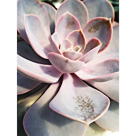 Simple life by Chelsea Mason - Nature Up Close Other plants ( succulent, pink, green, plant )
