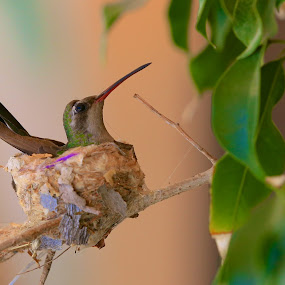 Little Mom by Capt Jack - Animals Birds ( bird, color, nest, protect, mom, humming bird )