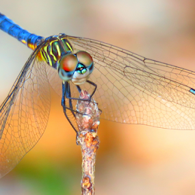 Wings of Dreams by Jeannie Love - Animals Insects & Spiders ( dragonfly, nature, insect, nature up close, landscape )