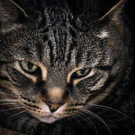 The Look by Marc Parent - Animals - Cats Portraits ( cat, colors, wiskers, ears, fur, eyes )