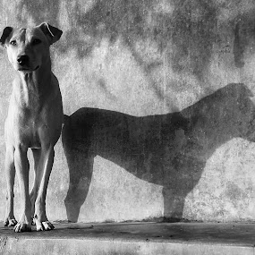 DUAL PERSONALITY......... by Arunabha Kundu - Animals - Dogs Portraits ( afternoon, summer, hot, dog, sun )