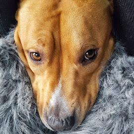 Tesla <3 by Stefan Spiroski - Animals Other ( pitbull, background, dog portrait, baby, dog, photo, cute dog, photography, portrait, animal )