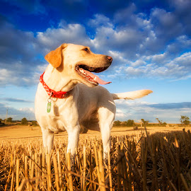 Against the Sky by Ian Taylor - Animals - Dogs Portraits ( clouds, sky, yellow, labrador, dog )