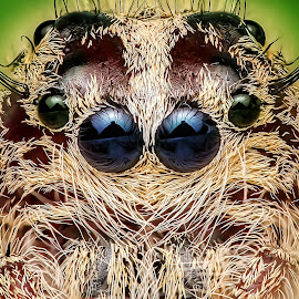 calm by Ronny Overhate - Animals Insects & Spiders ( macro art, macro, macro photography, jumping spider, insect, eyes )
