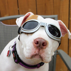 Maddie Goggles by Shawn Thomas - Animals - Dogs Portraits ( canine, rescue, goggles, terrier, dog )