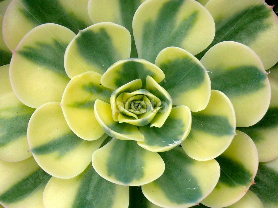 Succulant by Laura Payne - Nature Up Close Other plants ( plant, succulent, symetry, nature, prickly, green, striated, rosette, flower, shapes geometric patterns , flowers,  )