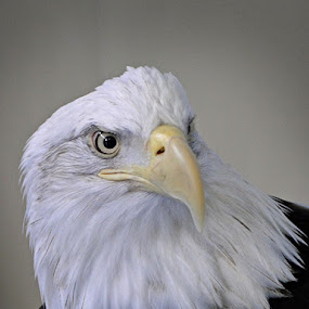 by Liz Rosas - Animals Birds ( bald eagle, head, close up, close-up )
