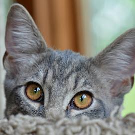 Kitten by Lauren Galanty - Animals - Cats Kittens ( cat, kitten, pet, adorable, shy, feline, nikon, cute, domestic, animal, eyes )