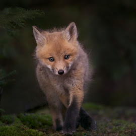 Wild and Fur-orcious by Stuart Clark - Animals Other Mammals ( wild, curious, playful, park, fur, baby, young, hiking, kit, soft, red fox )