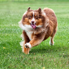 by Morgan Baumgartner - Animals - Dogs Running ( australian shepherd, aussie )