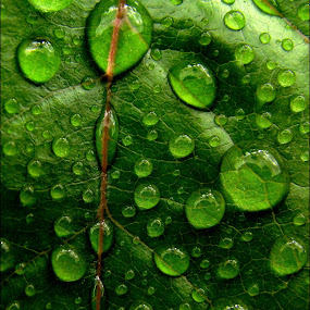 weeping by Adriana Petcu - Abstract Patterns ( macro, nature, green, weeping, drops, leaf )
