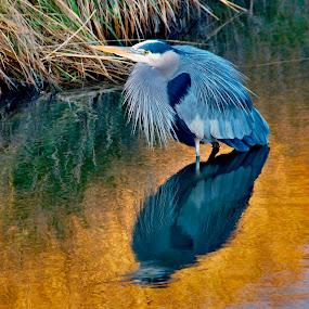 HDR Heron. by D. Bruce Gammie - Animals Birds ( water, bird, blue, heron, north delta )