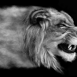 Phantom King B&W by Shawn Thomas - Black & White Animals (  )