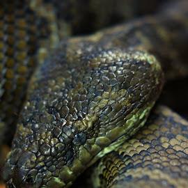 Resting Python by Malcolm Jack - Animals Reptiles ( python, snake, d'aguilar national park, australia, brisbane )