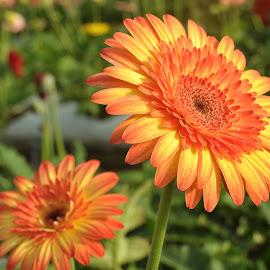 Pride by Etty Selamat - Flowers Flower Gardens ( orange, orange daisy, blooming, daisy, flower )