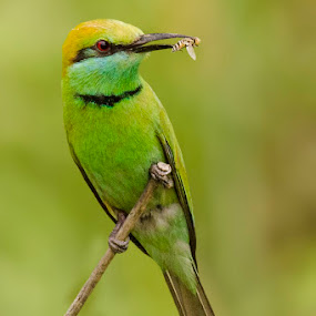 || Green Bee Eater With Catch || by Indra Maji - Animals Birds