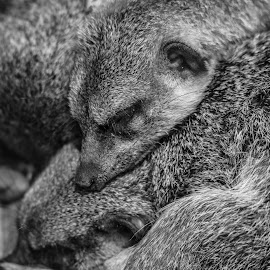 Meerkats by Jack Lewis McClure - Animals Other Mammals ( black and white, meerkats, meerkat, sleeping, cute, close up )