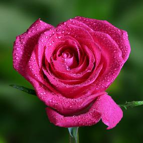 Pink Rose by Skip Spurgeon - Flowers Single Flower ( pink rose )