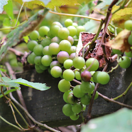 Green Grapes by Terry Linton - Nature Up Close Gardens & Produce (  )