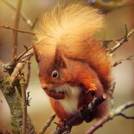 Red Squirrel by Deborah Lister - Animals Other Mammals ( scotland, nature, red squirrel, wildlife, tufty, squirrelnutkin, cute, mammal )