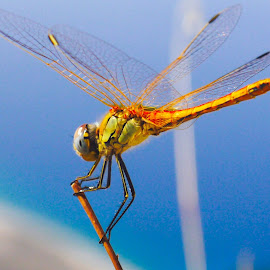 Dragonfly by Arber Shkurti - Novices Only Macro