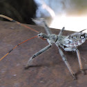 Wheel Bug (nymph)