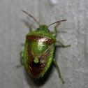 Banasa Stink Bug