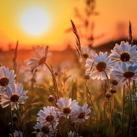 Prairie Sunset by Mike Martin - Flowers Flower Gardens ( wildflowers, illinois, sunset, daisies, flowers, prairie, golden )
