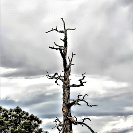 dry Pine by Bruce Newman - Landscapes Deserts ( nature, dead tree, cloudy sky, landscape,  )