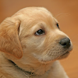 Break Time by Gary Enloe - Animals - Dogs Puppies ( k-9, pet, puppy, golden retreiver, dog )