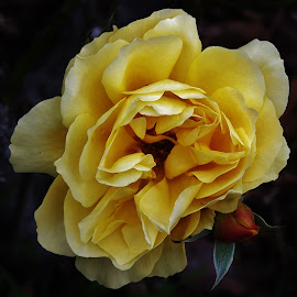 Yellow Rose by Sarah Harding - Novices Only Flowers & Plants ( rose, novices only, yellow, close up, flower )