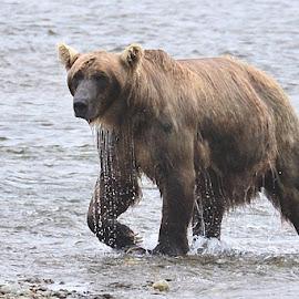 Splashing To Stun The Salmon by Stephen Beatty - Animals Other Mammals