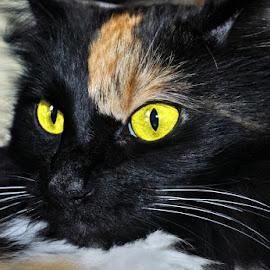 Kitty P. - by B Lynn - Animals - Cats Portraits ( pet., meow., mammals., feline., mammal. )