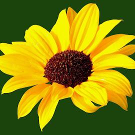 by SANGEETA MENA  - Flowers Flowers in the Wild