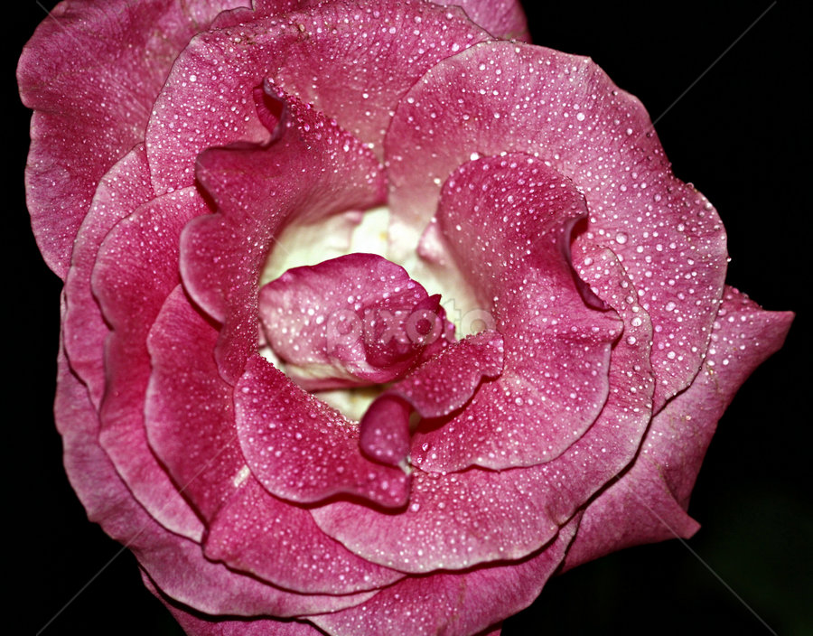 Rose with water drops. by Dipali S - Nature Up Close Flowers - 2011-2013 ( water, rose, flora, drops, flower )