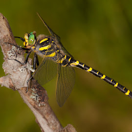 Golden-ringed dragonfly by Jari Johnsson - Animals Insects & Spiders