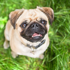 Pug by Selena Chambers - Animals - Dogs Portraits ( grass, smile, dog, portrait, pug )
