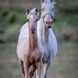 Cremello mare and Palomino foal by Glenys Lilley - Animals Horses ( mare, palomino, cremello, horse photography, foal )