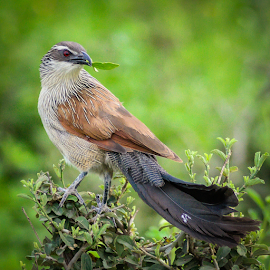 White-browed Coucal by Giancarlo Bisone - Animals Birds ( bird, safari, coucal, tanzania, africa )