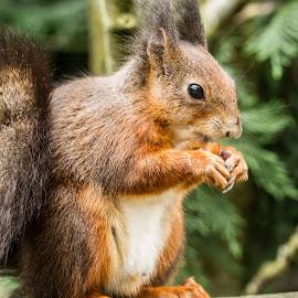 Red Squirrel by Garry Chisholm - Animals Other Mammals ( garry chisholm, red, nature, british wildlife, mammal, squirrel )