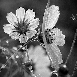 3 Cosmos in BW by Tina Dare - Black & White Flowers & Plants ( close up, macro, flowers, nature, bw, dew, up close, black and white, cosmos )